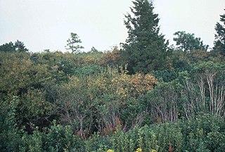 Pocosin wetland