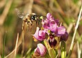 Abeja y orquídea 03 - bee and orchid (2353519764).jpg