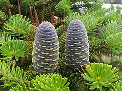 Korejas baltegle (Abies koreana)
