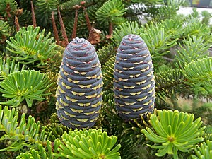Fir - Korean fir (Abies koreana) cones and foliage