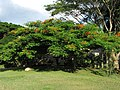 Acacia roja - Flamboyán (Delonix regia) (14255506846).jpg