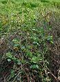 Acalypha indica W IMG 4051.jpg