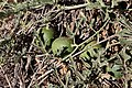 Acanthosicyos horridus fruit MHNT.JPG