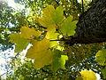 Acer obtusatum (41).JPG