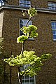 Acer shirasawanum 'Aureum' Golden Full Moon Maple at Myddelton House, Enfield, London 01.jpg