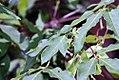 Acer triflorum 7zz.jpg