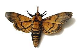 Acherontia atropos02.jpg