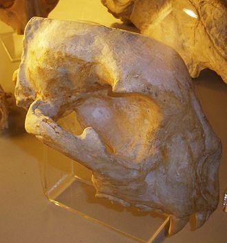 Acinonyx pardinensis - Skull
