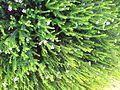 Acmadenia mundiana - De Hoop Buchu - rare Limestone coastal fynbos plant - South Africa 5.jpg
