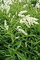 Aconogonon alpinum kz03.jpg