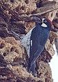 Acorn Woodpecker (15835359318).jpg