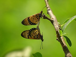 <i>Acraea caecilia</i> Species of butterfly