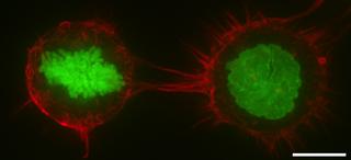 Cell cortex