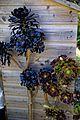 Aeonium arboreum 'Atropurpureum' and 'Zwartkop' at Boreham, Essex, England.jpg