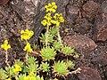 Aeonium simsii P1050451.JPG
