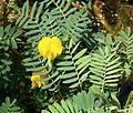 Aeschynomene fluitans flower.jpg