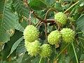 Aesculus hippocastanum - divlji kesten 5.jpg