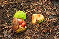 Afgevallen vruchten van kastanje (Aesculus) 01.jpg