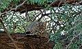 African Wild Cat (Felis lybica) (6549794935).jpg