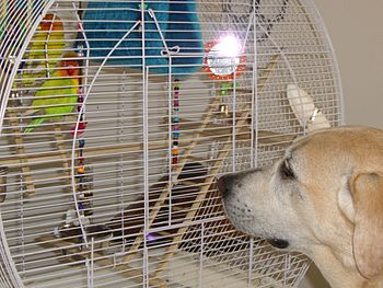 Two pet domesticated lovebirds in a cage watch...