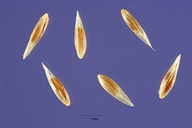 Agrostis stolonifera seeds.jpg