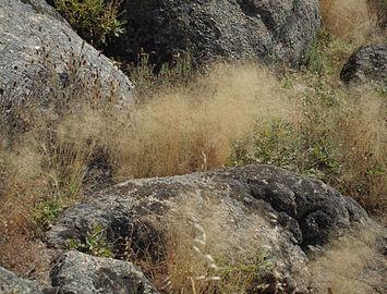 Agrostis truncatula 20110714b.jpg