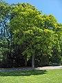 Ailanthus altissima01.JPEG