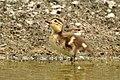Aix galericulata (Küken) - Nymphenteich Zürichhorn 2011-06-06 16-12-36.JPG