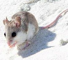 Alabama Beach Mouse Wikipedia