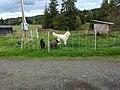 Alert Maremma Sheepdog and Nigerian Dwarf Goats.jpg