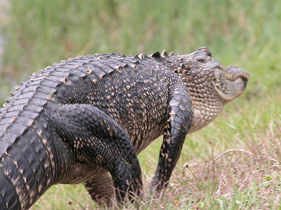 Alligator02 Asit