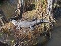 Alligator at Royal Palm^ - panoramio (1).jpg