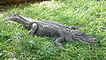 Alligator mississippiensis (2),.jpg