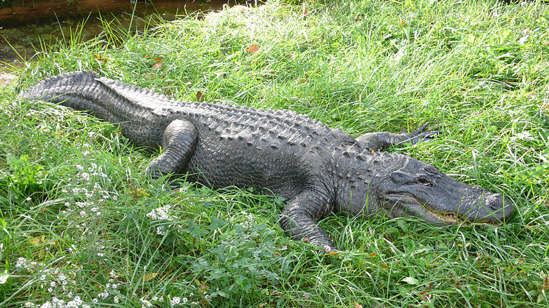 https://commons.wikimedia.org/wiki/File:Alligator_mississippiensis_(2),.jpg