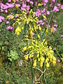 Allium flavum02.jpg