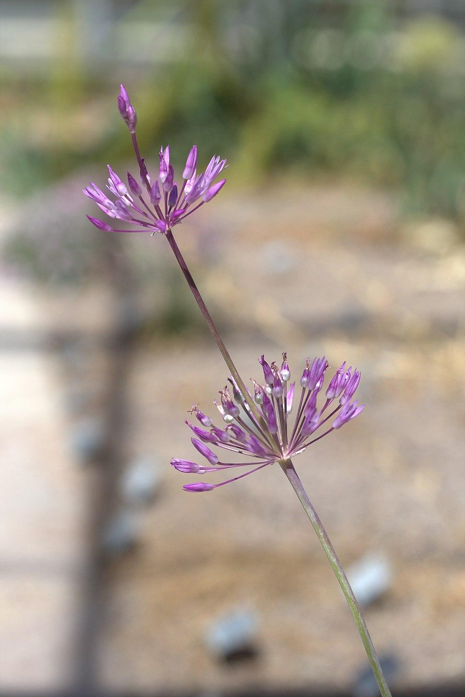 Allium regelii GotBot 2015 001