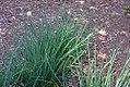 Allium schoenoprasum 3zz.jpg