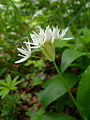 Allium ursinum flowers Linnerberg 4.JPG
