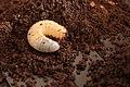 Allomyrina dichotoma L3 Larva.JPG