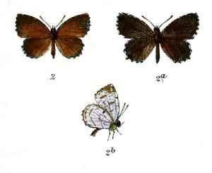 Allotinus nivalis - Image: Allotinus Nivalis Knight