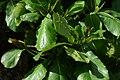 Almendro (Terminalia catappa) (14787612664).jpg