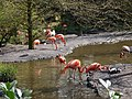 Alpen a-d Rijn - Avifauna - flamingi - panoramio.jpg