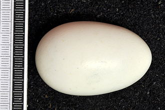 Southern mealy amazon - Egg, Collection Museum Wiesbaden
