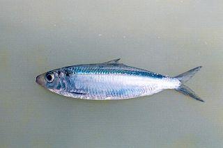 <i>Amblygaster leiogaster</i> Species of fish