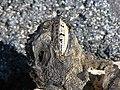 Amblyrhynchus cristatus 6zz.jpg