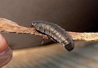 American carrion beetle - Larva