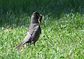 American Robin - a hard day's work raising young (35577588056).jpg