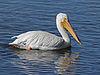 American White Pelican RWD