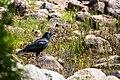 American crow (27761901790).jpg