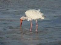 File:American white ibis eating at high tide.webm